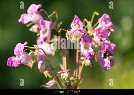 Suppression des fleurs roses sur cette plante en famille Balsaminaceae, avec nectar de bourdon