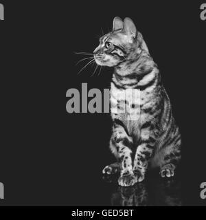 Beau chat bengal Banque D'Images