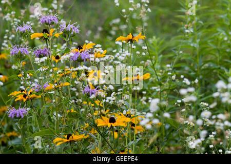 Des fleurs sauvages indigènes de la région des prairies Banque D'Images