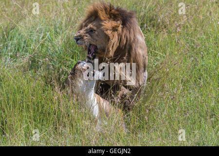 Les Lions dans l'herbe haute sur la savane, Masai Mara, Kenya, Afrique du Sud Banque D'Images