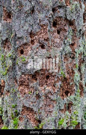De nombreux trous de pics dans le tronc d'un arbre à feuilles persistantes Banque D'Images