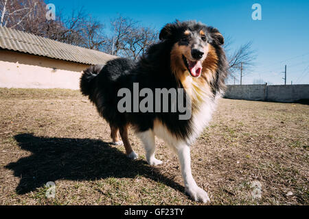 Funny Jeunes Shetland Sheepdog, Sheltie, Colley chien jouer à l'extérieur. Grande photo Angel