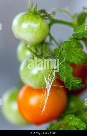 Tomates cerise vertes nain sur branch, tomate Banque D'Images