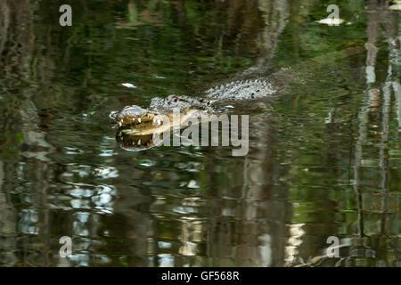 L'alligator dans l'eau avec la bouche ouverte et de grandes dents. Everglades de Floride. Floride Banque D'Images