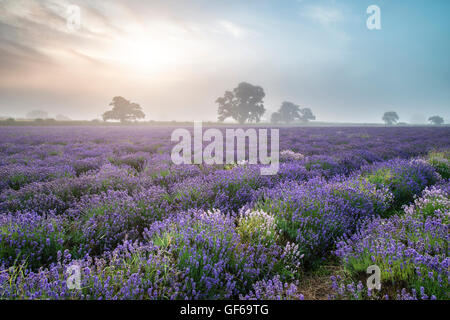 Superbe lever de soleil brumeux spectaculaire paysage sur champ de lavande dans la campagne anglaise Banque D'Images
