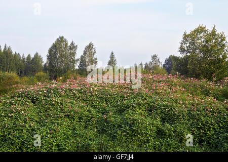 Impatiens glandulifera balsamine de l'himalaya fleurs
