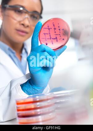 Parution de la propriété. Parution du modèle. L'examen scientifique des cultures microbiologiques dans une boîte de pétri.
