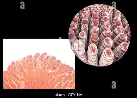 Villosités intestinales, lumière microphotographie et ordinateur 3D illustration. Les villosités de doigt, des projections Banque D'Images