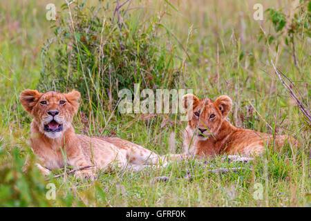 Deux Lionceaux allongé dans l'herbe dans la savane