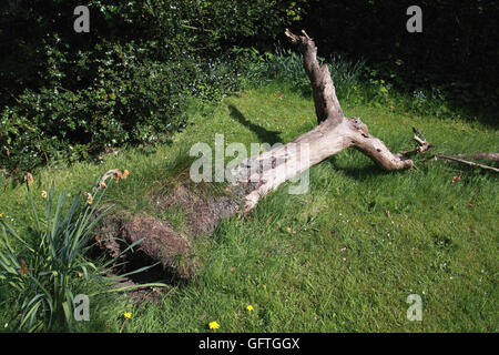 Le tronc de vieux pommier qui a baissé au cours de dans un jardin une fois qu'un verger gauche pour attirer les insectes et les oiseaux
