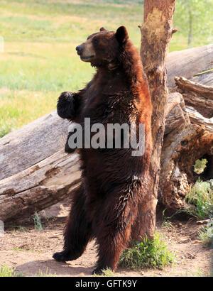 Ours noir, Ursus americanus. Un Cinnamon Bear rayures son dos sur un tronc d'arbre Banque D'Images