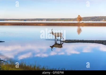 Les jeunes Elk reflètent dans l'eau bleue et claire de l'établissement Yellowstone Lake dans le Parc National de Banque D'Images