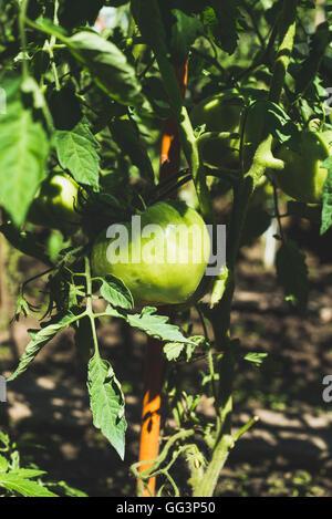 Sur tomate mûre vert dans la direction verticale, potager Banque D'Images
