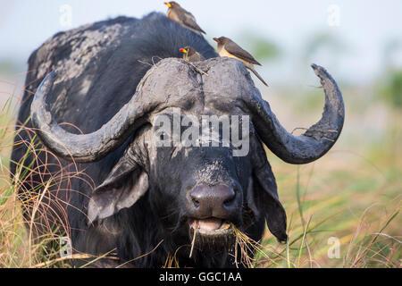 Choc frontal gros plan d'une tête de buffle du Cap Syncerus caffer avec Oxpeckers sur sa tête pour enlever les tiques Banque D'Images