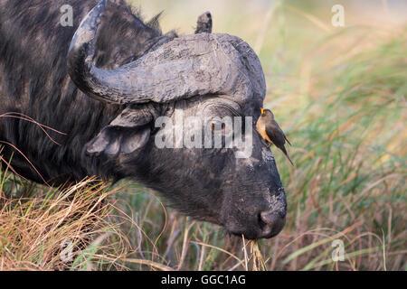 Gros plan d'une tête de buffle du Cap Syncerus caffer avec un Oxpecker sur son visage Banque D'Images
