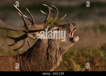 Portrait d'un grand feu de red deer stag à fougères dans les bois sa Banque D'Images