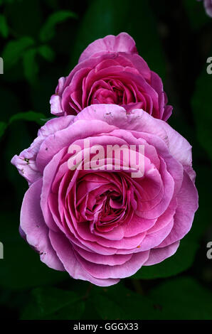Rosa 'Gertrude Jekyll' Banque D'Images