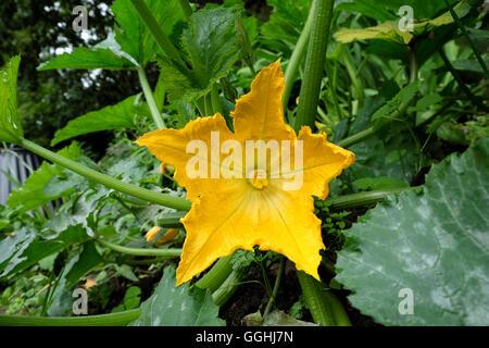 Fleur de courgette dans un pays de plus en plus dans le jardin de l'été 2016 dans Carmarthenshire Wales UK KATHY Banque D'Images