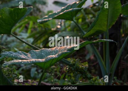 Gouttes de pluie sur les feuilles, le Mont Kinabalu, Bornéo, Malaisie. Banque D'Images