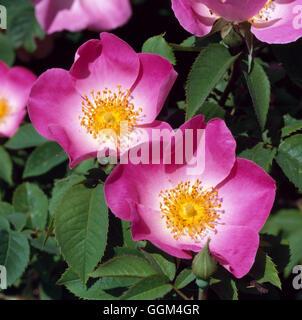 Rosa - 'Load' AGM (Gallica) (arbuste) RSH002012 Banque D'Images