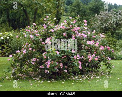 Rosa - 'Load' AGM (Gallica) (arbuste) RSH054219 Banque D'Images