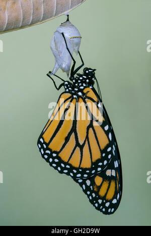 Papillon Monarque Danaus plexippus juste adultes ont émergé de chrysalide et de l'Est des États-Unis de séchage Banque D'Images