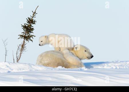 Mère de l'ours polaire (Ursus maritimus) jouant avec deux oursons, Parc National de Wapusk, Manitoba, Canada Banque D'Images