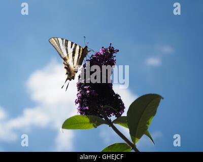 Papillon noir et blanc assis sur la rétro-éclairage avec ciel bleu et nuage, Palairac, Corbières, France Banque D'Images