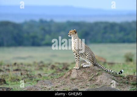 Le Guépard (Acinonyx jubatus) dans le Parc National de Massai Mara, Kenya, Afrique Banque D'Images