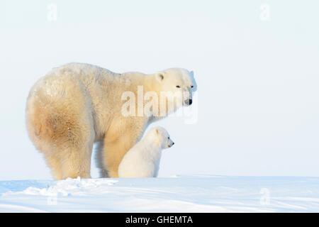 Mère de l'ours polaire (Ursus maritimus) toundra avec nouveau né sur cub, Parc National de Wapusk, Manitoba, Canada Banque D'Images