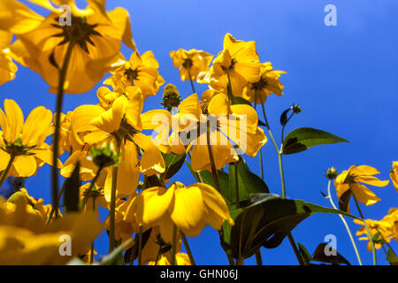 Cutleaf Coneflower Rudbeckia Herbstsonne, Gloriosa Daisy Banque D'Images