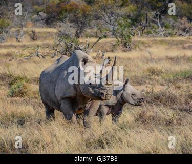 Une mère rhinocéros noir et veau de six mois, à Eastern Cape, Afrique du Sud Banque D'Images