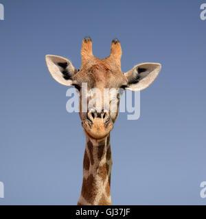 Gros plan d'un portrait du visage d'une girafe contre un fond de ciel bleu dans le sud de l'Afrique Banque D'Images