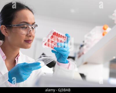 L'examen scientifique des femmes de cultures cellulaires en multi dans le laboratoire bac bien Banque D'Images