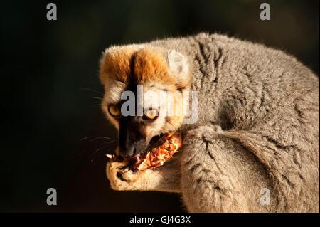 À la façade rouge lémurien brun Eulemur rufus Madagascar Banque D'Images