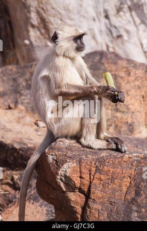 Gris indien langurs Hanuman ou langurs Monkey (Semnopithecus animaux singe) assis sur un rocher Banque D'Images