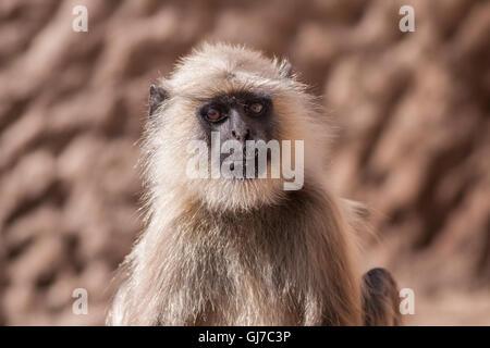 Gris indien langurs Hanuman ou langurs Monkey (Semnopithecus animaux singe) fixant l'appareil photo Banque D'Images