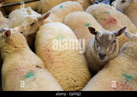 Les moutons à la plume en attente de vente aux enchères Banque D'Images