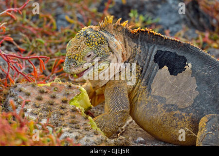 Iguane terrestre des Galapagos (Conolophus subcristatus) cactus manger pad, le parc national des Îles Galapagos, l'Équateur, l'île South Plaza