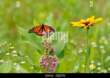 Monarque (Danaus plexippus) Hôte de nectar de fleurs d'asclépiade, Grand Sudbury, Ontario, Canada Banque D'Images