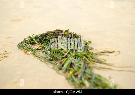 Les algues vertes sur la plage libre Banque D'Images