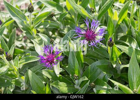 Berg-Flockenblume Bergflockenblume, centaurea montana, vivace, bleuet, bleuet de montagne, du baccalauréat, de montagne Banque D'Images