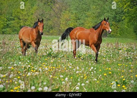 Deux chevaux dans un enclos