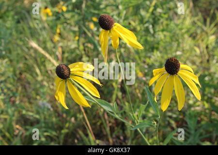 Susans Blackeyed à une prairie preserve à Chicago, IL, USA Banque D'Images