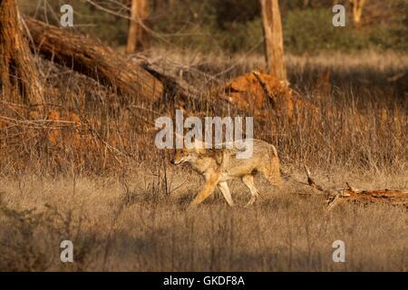 Le chacal doré (Canis aureus, le parc national de Ranthambore, Rajasthan, Inde, Asie