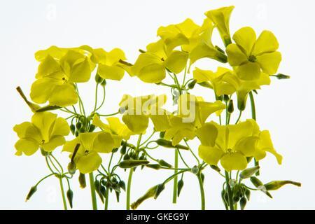 Pétales de fleurs lumineux photographié sur une boîte à lumière Banque D'Images