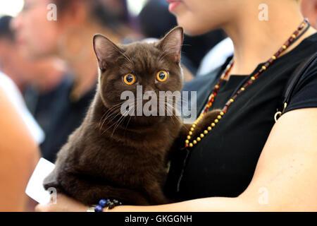 Shenyang, province de Liaoning en Chine. 20e Août, 2016. Un chat est considéré sur une exposition chat de compagnie Banque D'Images