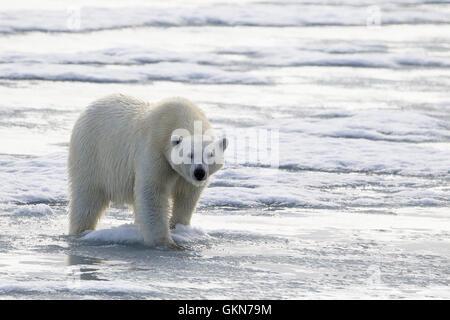 L'ours blanc, Ursus maritimus, promenades à travers la glace, Svalbard, de l'Arctique.