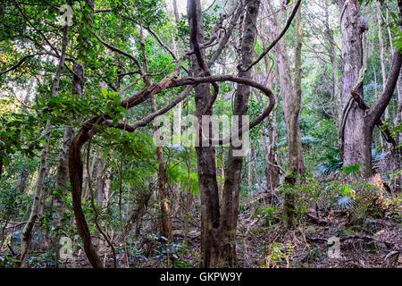 Twisted Liana poussant dans la forêt pluviale tempérée Minnamurra Center, New South Wales, NSW, Australie Banque D'Images