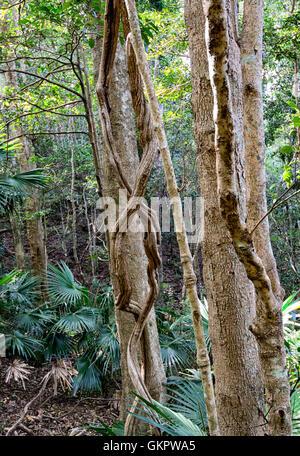 Lianes torsadées poussant dans la forêt pluviale tempérée Minnamurra Center, New South Wales, NSW, Australie Banque D'Images